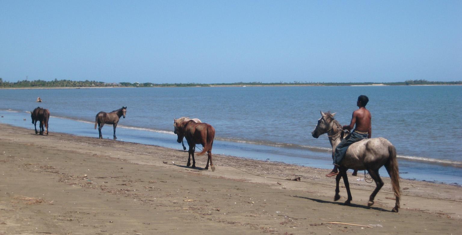 Fiji Horses